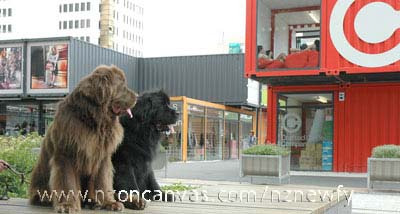 Newfoundlands Henry & Enzo see shipping shopping containers in Cashel Mall, Christchurch, NZ