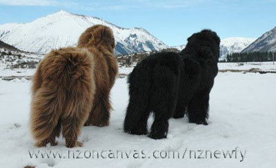 Newfoundlands Enzo and Henry admiring the mountain vista