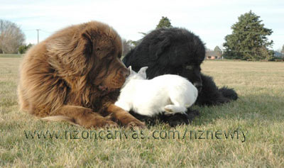 Newfoundlands Enzo & Henry with Esther, the girl next door.