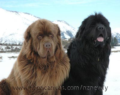 Newfoundlands Enzo and Henry in the mountains
