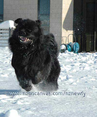 Newfoundland Henry in full flight