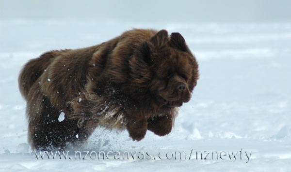 Newfoundland Enzo in full flight