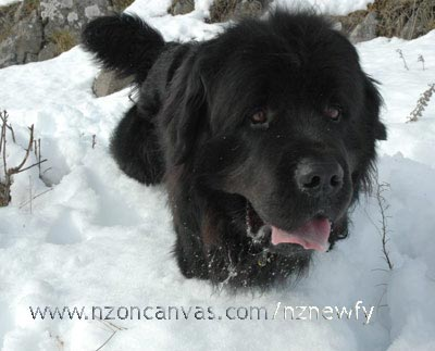 Newfoundland Henry deep in the snow