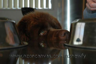Newfoundland Enzo supervises the preparation of his birthday dinner.