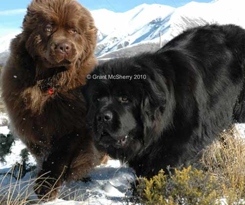 Newfoundlands Enzo & Henry on Enzo's first birthday
